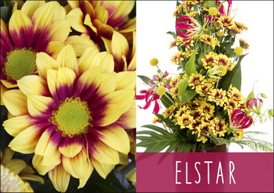 Another Exciting Novelty Chrysanthemum From Deliflor This Beautiful Flower Is A Type That Can Be Used All Seasons See Elstar