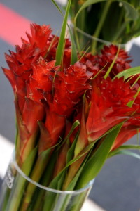 bromeliad Pitcairnia hitchcockiana 'Red Dragon'