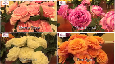 Rio Roses introduction of garden roses