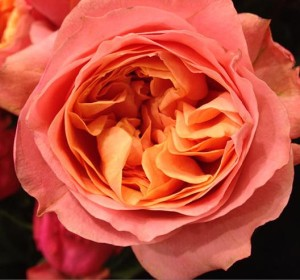 Orange Garden Rose flower trends forecast - new flowers