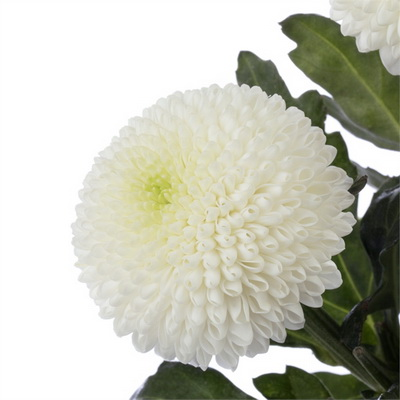 Flower trends forecast new flowers with heavily petaled flowers so popular dont over look the many great chrysanthemums siberia is a new white from deliflor sure to fit any garden style mightylinksfo